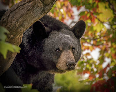 Photograph - Tree Top Black Bear by LeeAnn McLaneGoetz McLaneGoetzStudioLLCcom