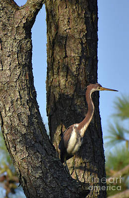 Photograph - Treed Heron by Skip Willits