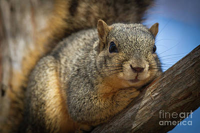 Photograph - Treed Squirrel by David Cutts
