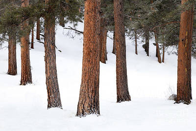 Photograph - Trees In The Snow by Ronda Kimbrow
