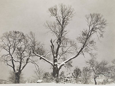 Photograph - Trees In Winter, 1923 by Alfred Stieglitz