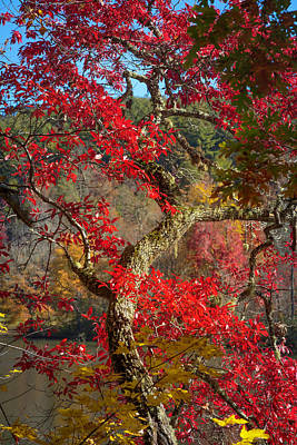 Photograph - Trees Of  Autumn Reds by Debra and Dave Vanderlaan