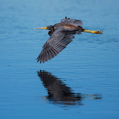Photograph - Tri-colored Heron In Flight by Ken Stampfer