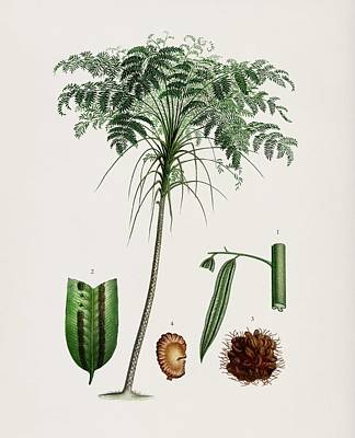 Painting - Trichipteris Excelsa Illustrated By Charles Dessalines D Orbigny  1806 1876 1 by Celestial Images