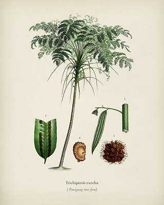 Painting - Trichipteris Excelsa Illustrated By Charles Dessalines D  Orbigny  1806 1876  by Celestial Images