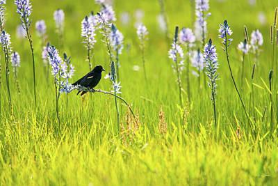 Photograph - Tricolored Blackbird by Leland D Howard