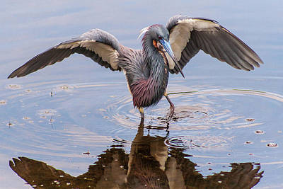 Photograph - Tricolored Heron Fishing by Stefan Mazzola