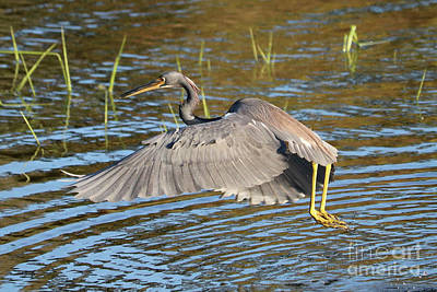 Photograph - Tricolored Heron Out Of The Water by Carol Groenen