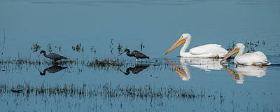 Photograph - Tricolored Herons And American White Pelicans by Ken Stampfer