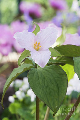 Photograph - Trillium Grandiflorum Roseum Flower by Tim Gainey