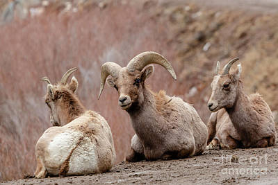 Photograph - Trio Of Bighorn Sheep Along The Platte River by Steve Krull