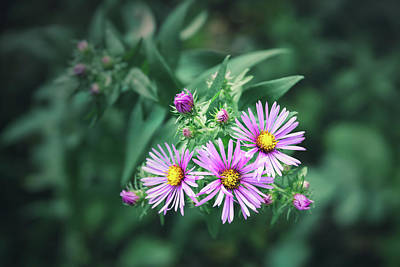 Kitchen Signs Rights Managed Images - Trio of New England Aster Blooms Royalty-Free Image by Scott Norris