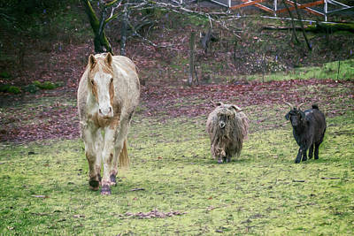 Photograph - Tripper And The Goats by Belinda Greb