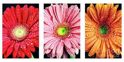 Photograph - Triptych Daisy Colors by John Rizzuto