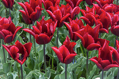 Photograph - Triumph Tulips Lasting Love by Jenny Rainbow