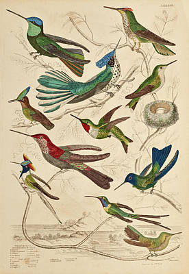 Rufous Wall Art - Painting - Trochilus - Hummingbirds by William Davis