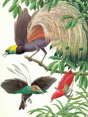 Painting - Tropical Birds Of Paradise by English School