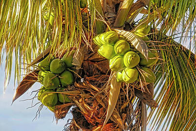 Photograph - Tropical Coconuts by HH Photography of Florida