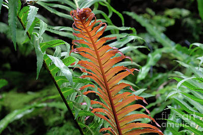 Photograph - Tropical Fern In The Rainforest by Marina Usmanskaya