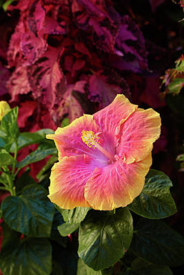 Photograph - Tropical Hibiscus by Garden Gate magazine
