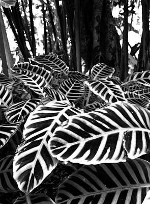 Botanical Photograph - Tropical Plants On The Rainforest Floor by Melinda Podor
