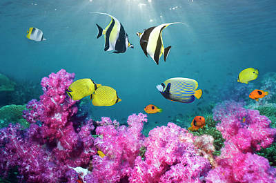 Photograph - Tropical Reef Fish Over Soft Corals by Georgette Douwma