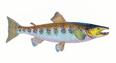 Animals Drawings - Trout Fish by David Letts