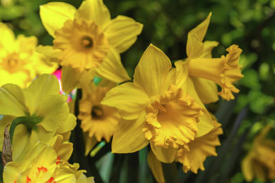Photograph - Trumpet Daffodil Golden Harvest by Jenny Rainbow