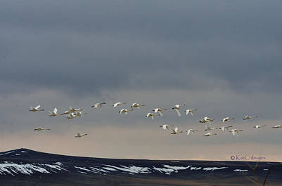 Photograph - Trumpeter Swans Over Freezout by Kae Cheatham