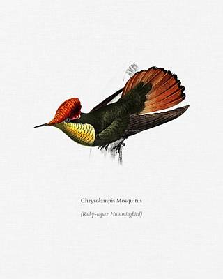 Painting - Tufted Coquette  Lophornis Ornatus  Illustrated By Charles Dessalines D  Orbigny  1806 1876  3 by Celestial Images