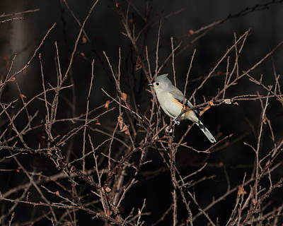 Photograph - Tufted Titmouse 4710 by John Moyer