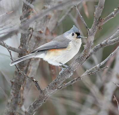 Photograph - Tufted Titmouse by Dan Sproul