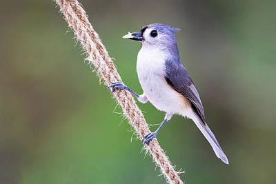 Photograph - Tufted Titmouse by Jay Whipple