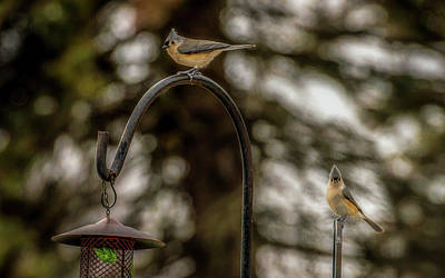 Photograph - Tufted Titmouse Pair by Onyonet  Photo Studios