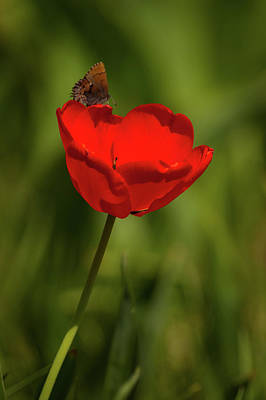 Photograph - Tulip And Skipper by Jeff Phillippi