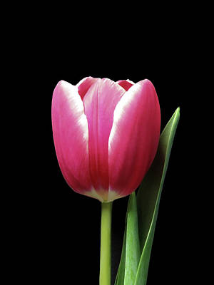 Royalty-Free and Rights-Managed Images - Tulip Beauty On Black by Johanna Hurmerinta