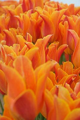 Photograph - Tulip Chorus by Dylan Punke
