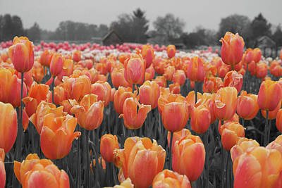 Photograph - Tulip Farm by Dylan Punke