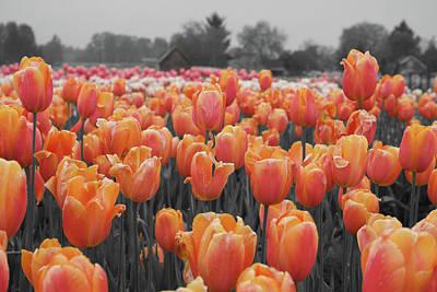 Photograph - Tulip Farm by Dylan Punke