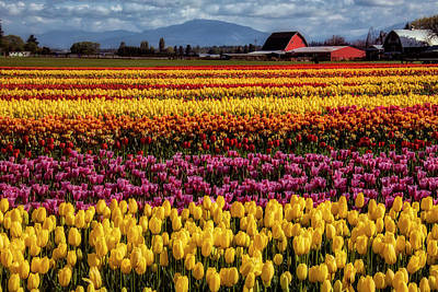 Photograph - Tulip Farm by Garry Gay