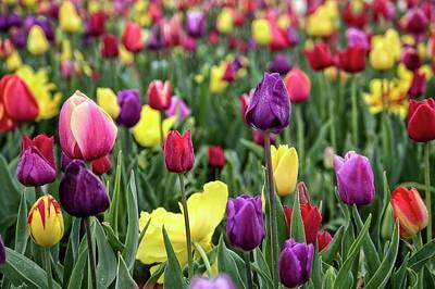 Photograph - Tulip Field by Thom Zehrfeld
