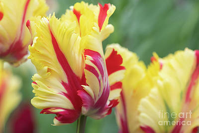 Photograph - Tulip Flaming Parrot Flower In Spring by Tim Gainey