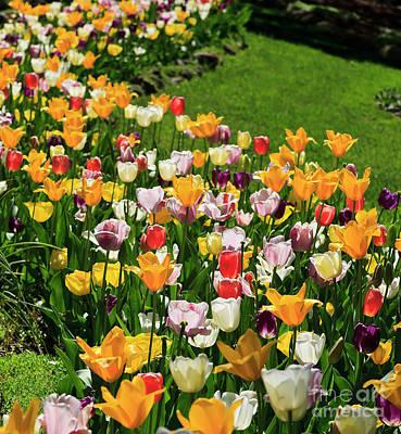 Photograph - Tulip Flower Garden In A Springtime Yard by Jill Lang