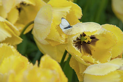 Photograph - Tulip Fringed Elegance With Cabbage White Butterfly  by Jenny Rainbow