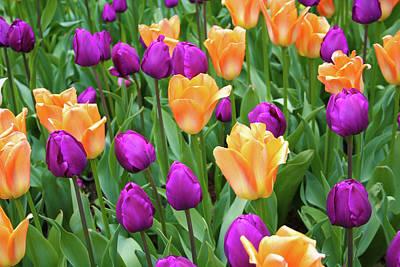 Photograph - Tulip Harmony by Dawn Richards