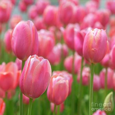 Photograph - Tulip Love by Karin Pinkham