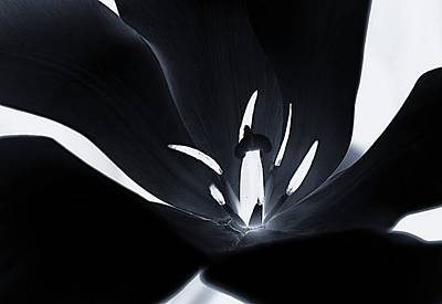 Photograph - Tulip Negative by Dawn Van Doorn