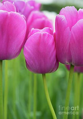 Photograph - Tulip Purple Pride Flowers by Tim Gainey
