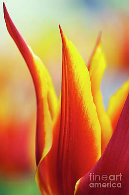 Photograph - Tulip Synaeda King by Tim Gainey