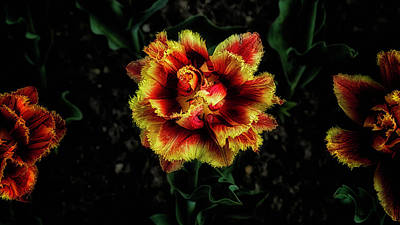 Photograph - Tulip Time by David Mohn